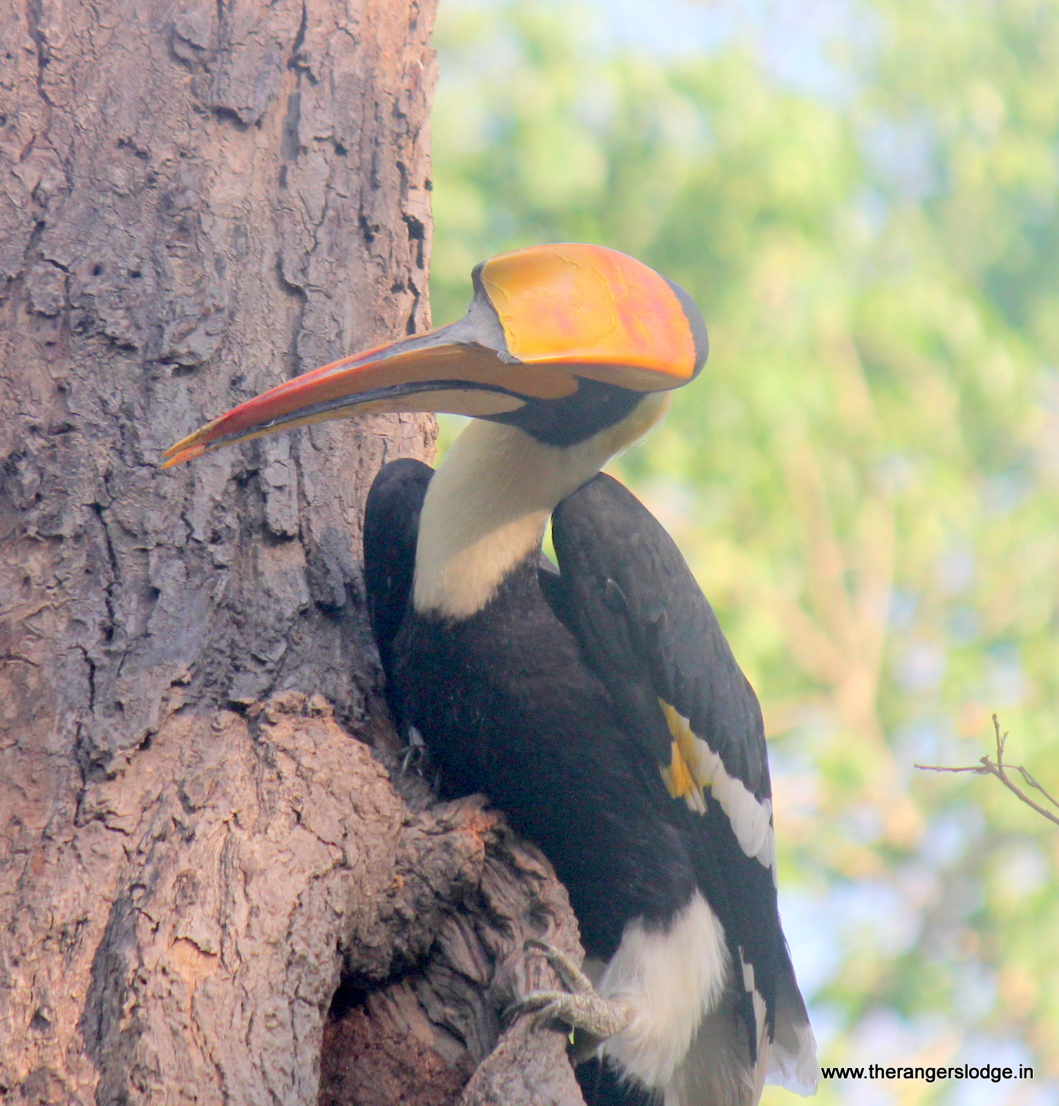 Hornbill on the nest
